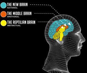 Image result for reptilian limbic neocortex