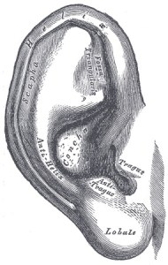 Gray's Anatomy of the Ear (Click to Enlarge)