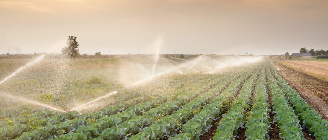 Field of lettuce being watered