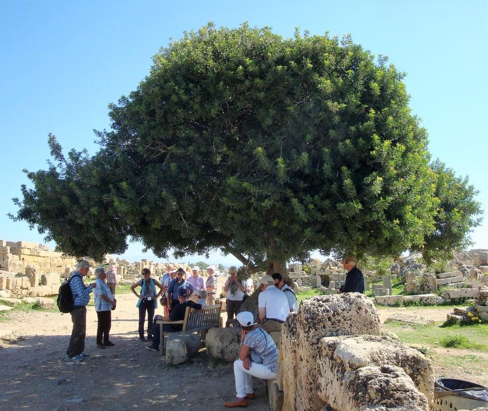 Schattenspender Mastixbaum