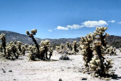 cholla-cactus-garden