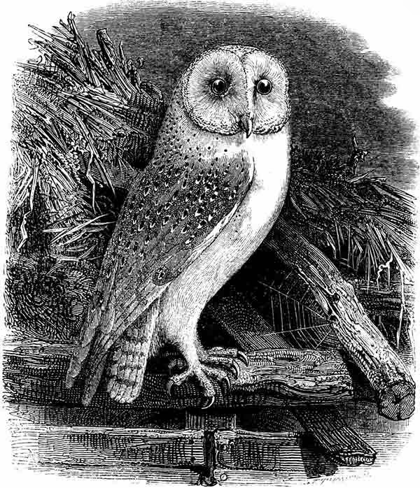 owl, vintage owl, free clip art, clip art, free images, design freebies