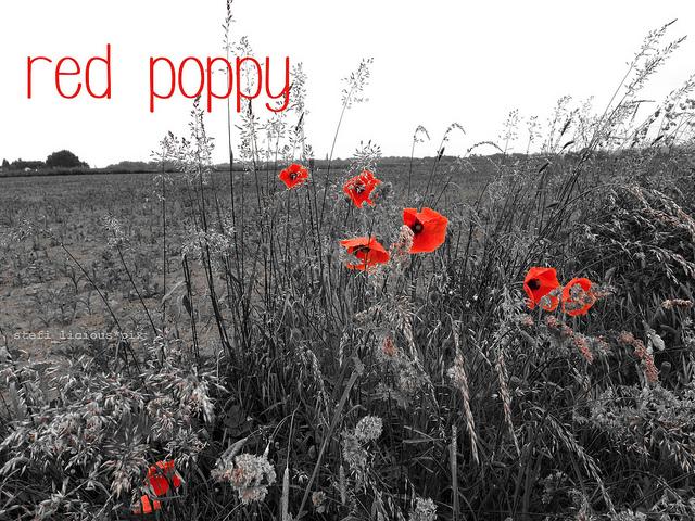 red_poppy_3