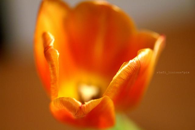 tulpe_2