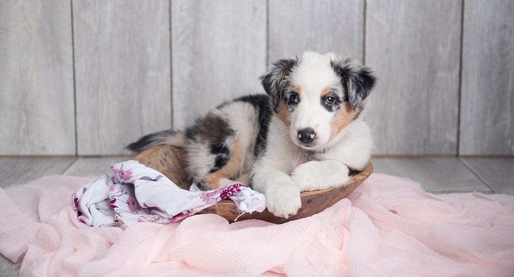 Kaylee-Australian-Shepherd-Blue-Merle-Puppy-Photo-Newborn-Studio-Stephanie-Beach-Photography