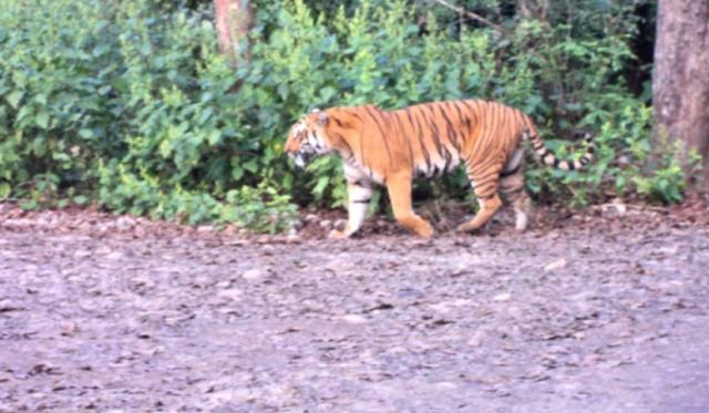 Jim Corbett National Park Tiger Visit