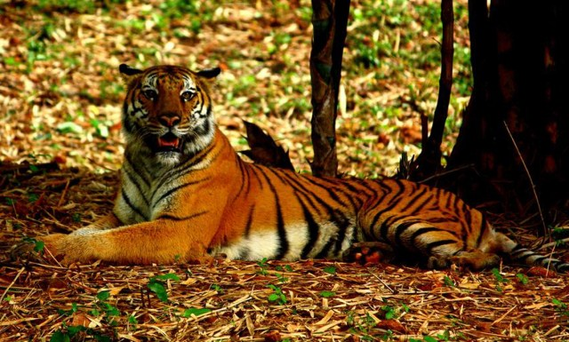 Royal bengal tiger in Corbett national park