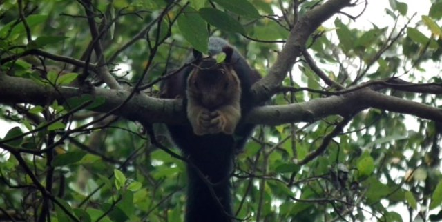 Great Malabar Squirrel Munnar
