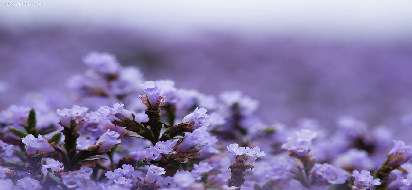 Witness the miracle of the Neelakurinji this 2018!