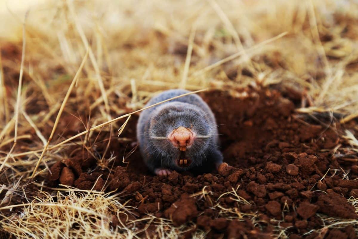 Kihalás szélén álló, őshonos állat lett az év emlőse