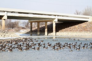 The Chamberlain community is home to hundreds of Canada geese.