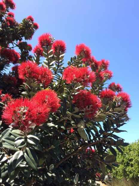 Pohutukawa tree in bloom - NZ Christmas Tree
