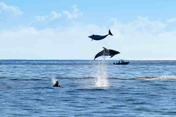 dolphins in paihia