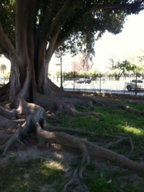 One of the many trees in Maria Luisa Park