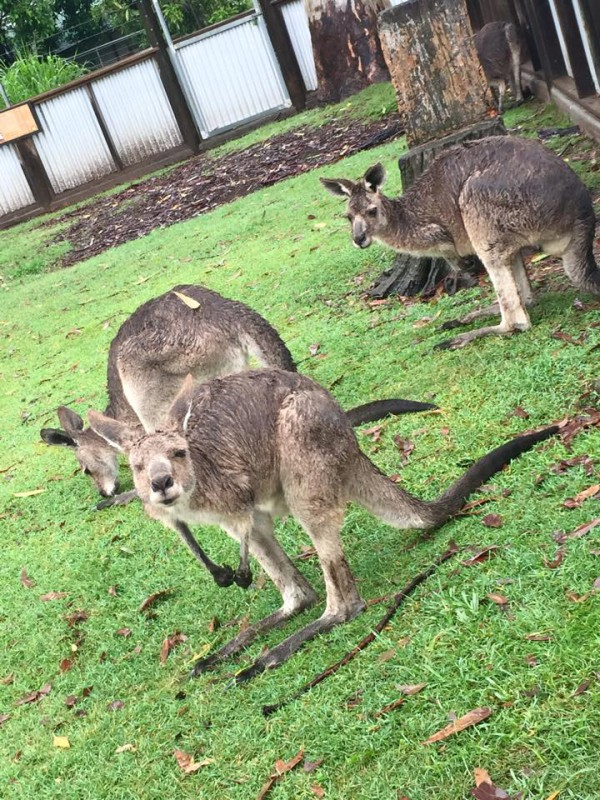 A troop of kangaroos. The face the kangaroo is making in this photo cracks me up!
