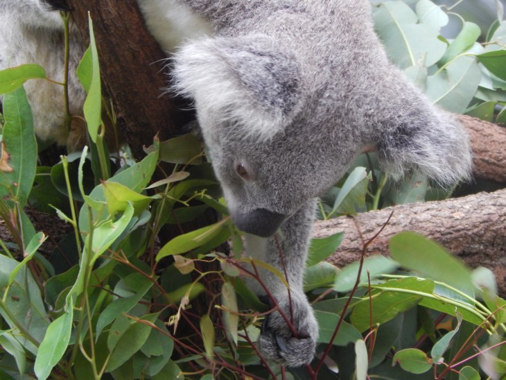 I loved this action shot I got of a koala reaching for some leaves.