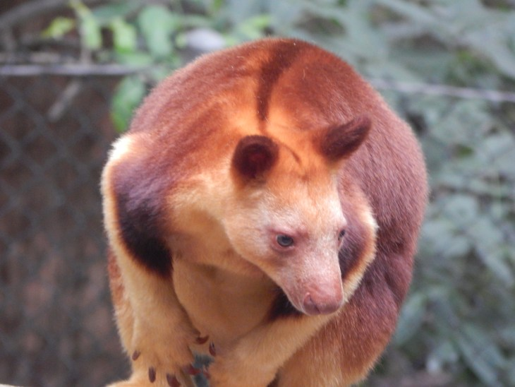 The tree kangaroos are pretty cool, and I love their coloring.