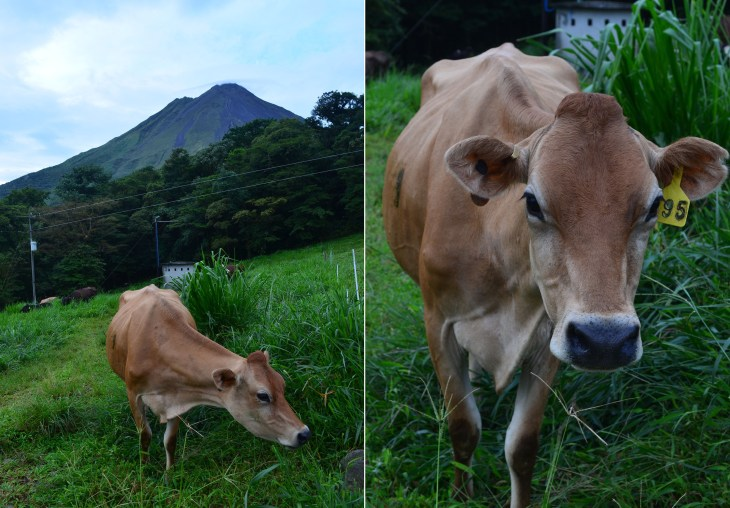 We passed several cows grazing on our way up to the observation point, they were behind a fence and presumably part of a dairy farm.