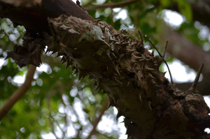 Spikey Tree, Tamarindo, Costa Rica, Joyce, Photo 4