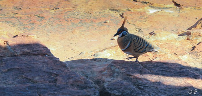 Pigeon Spinifex