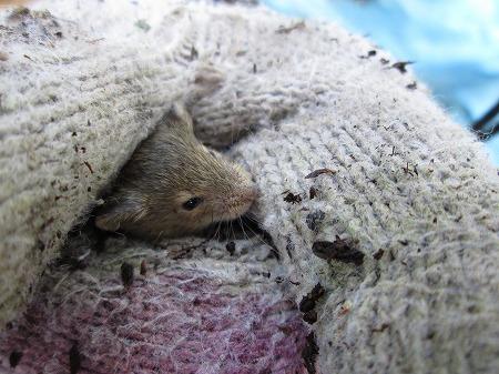 ミキマウス