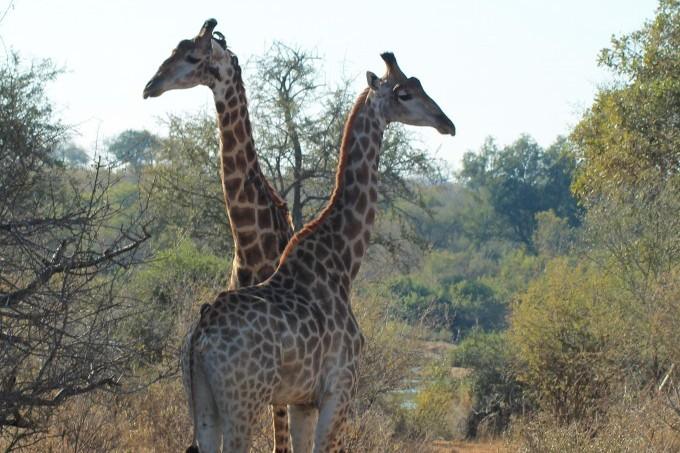 Giraffen in zuid-afrika bush