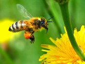 Honey bee flying to dandelion