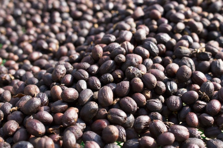 Coffee-processing-dry-2