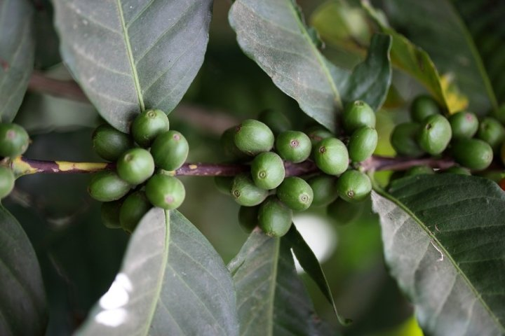Harrar-fruit