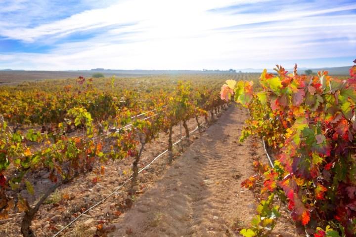Tempranillo-vineyard