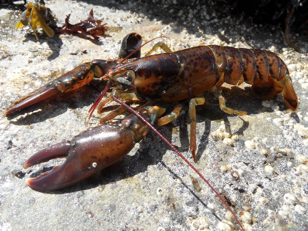 Northern Lobster