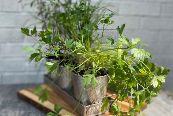 herb in planter