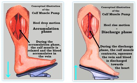 function-of-calf-muscle-pump