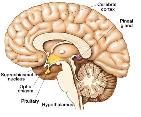 pineal-gland-of-human-brain