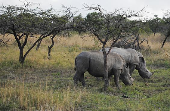 Rhinoceros roaming at Thula Thula.