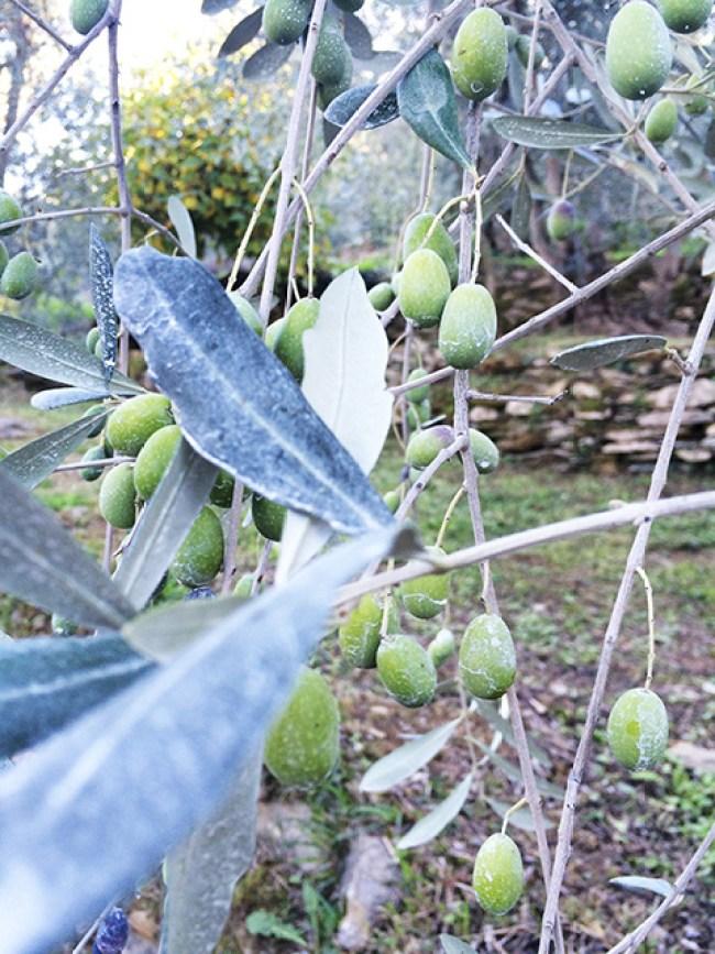 Olives branch
