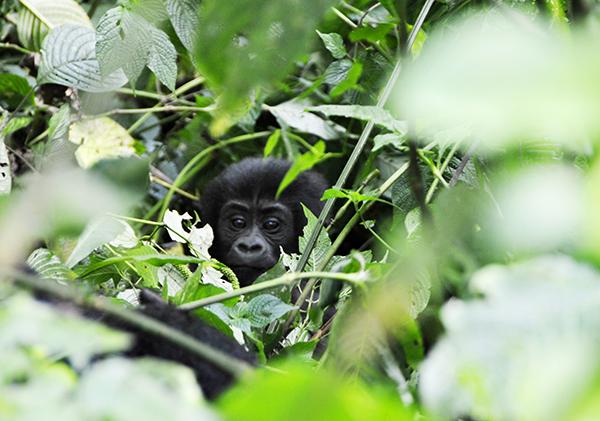baby-gorilla-bwindi