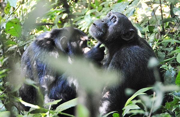 chimpanzee-grooming