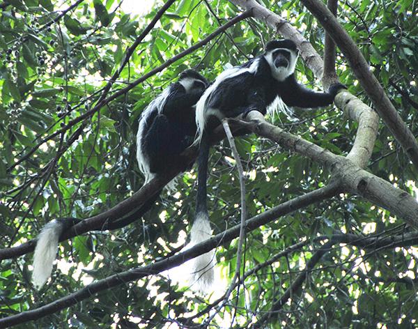 eastern-colobus