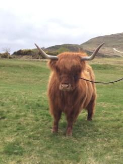 Scottish Heeland Coo