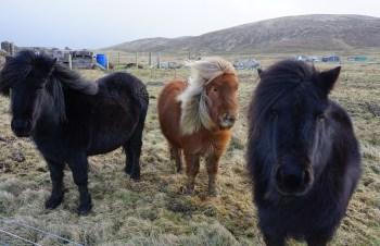 Shetland Ponies Scotland