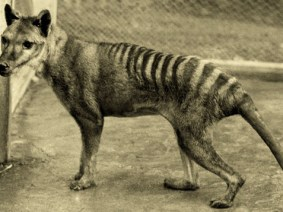 7 reasons why we should bring back the Tasmanian tiger
