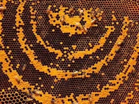 What is it about bees? Three experts on why they're fascinating, why they're dying, what can save them