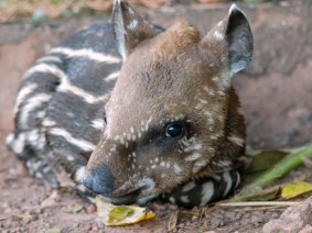 10 things you need to know about tapirs (psst: there's a baby tapir named TED)