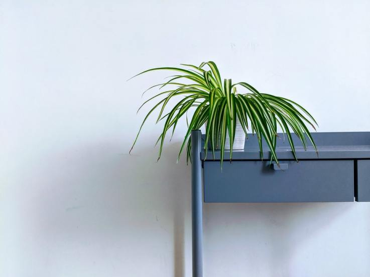 Photo of a Spider Plant