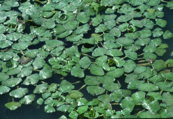 A dense mat of water chestnut plants