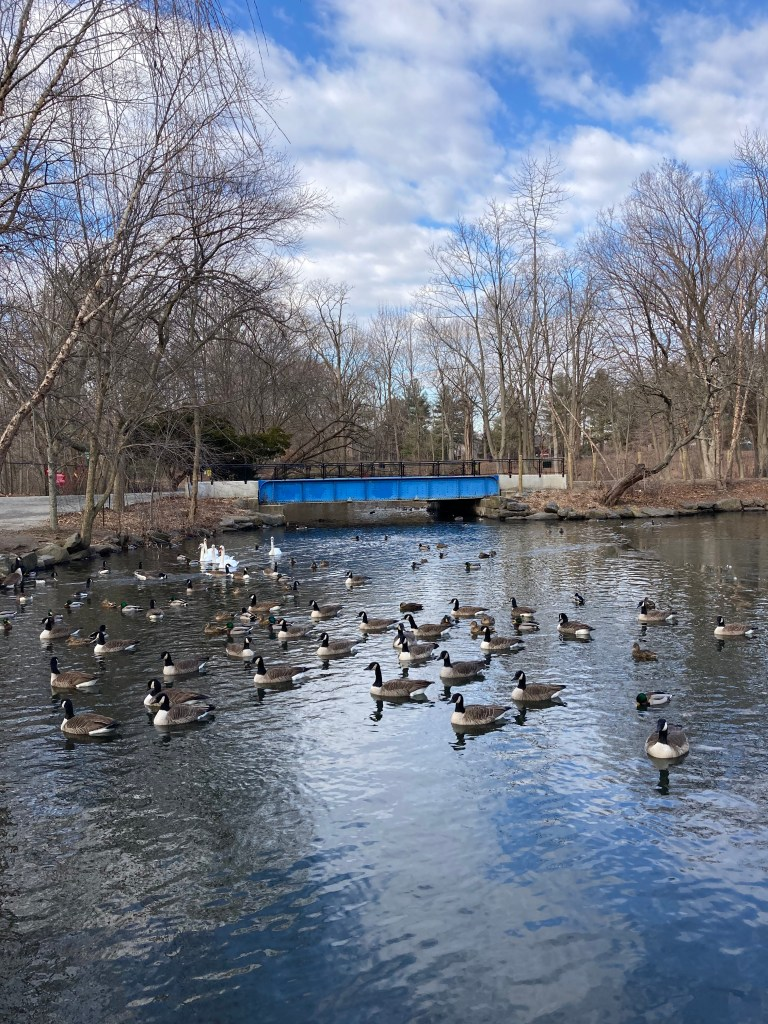 Canada geese, swans, and ducks swimming at Van Cortlandt Park this past winter.