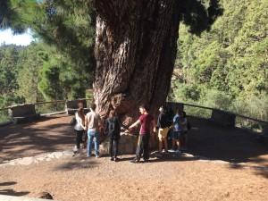 Pino Gordo - Biggest pine tree in Tenerife
