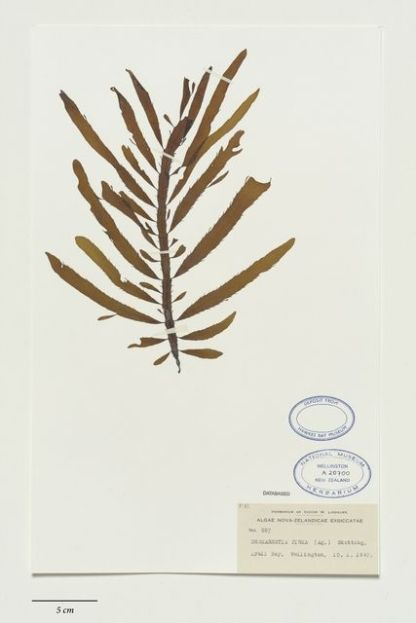 Desmarestia ligulata (Stackh.) J.V.Lamour., collected 10 Jan 1947, Wellington, Lyall Bay, New Zealand. CC BY-NC-ND licence. Te Papa (A020700)