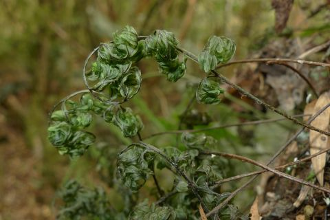 It has been dry around Waimate. This Hymenophyllum villosum filmy fern was curling its fronds to reduce water loss through transpiration. It will unfurl with the next rain. Near Waimate. Photo Leon Perrie. © Te Papa.